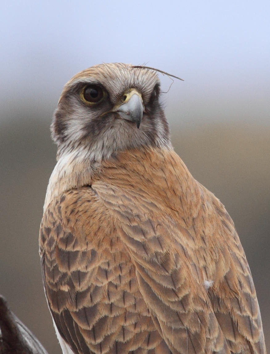 Brown Falcon  Falco berigora . Note the yellow cere and orbital ring; features sometimes cited as diagnostic features of Grey Falcon which could clearly create confusion for inexperienced observers.