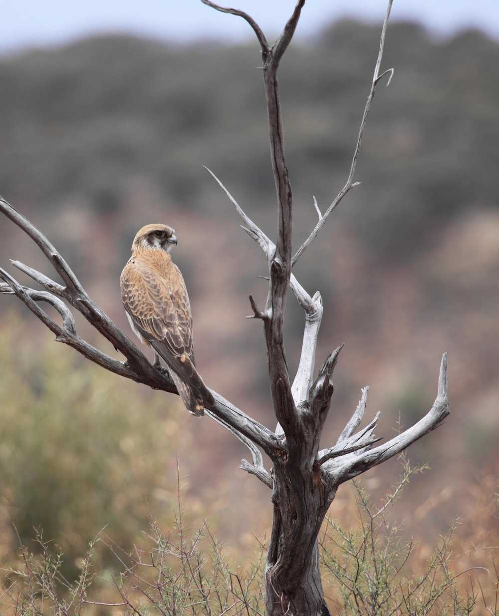 The Brown Falcon on its hunting perch; how you'll most often see them in Central Australia. Note the unfeathered tarsometatarsus (lower leg) just visible.