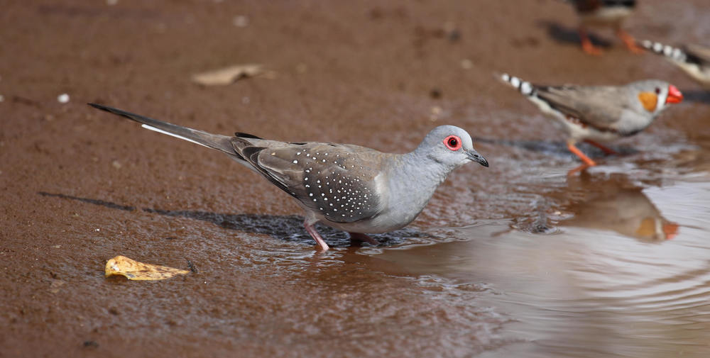 Diamond Dove Geopelia cuneata, with Zebra Finches Taeniopygia guttata.