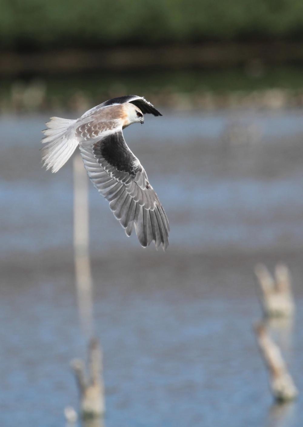 Black-shouldered Kite Elanus axillaris