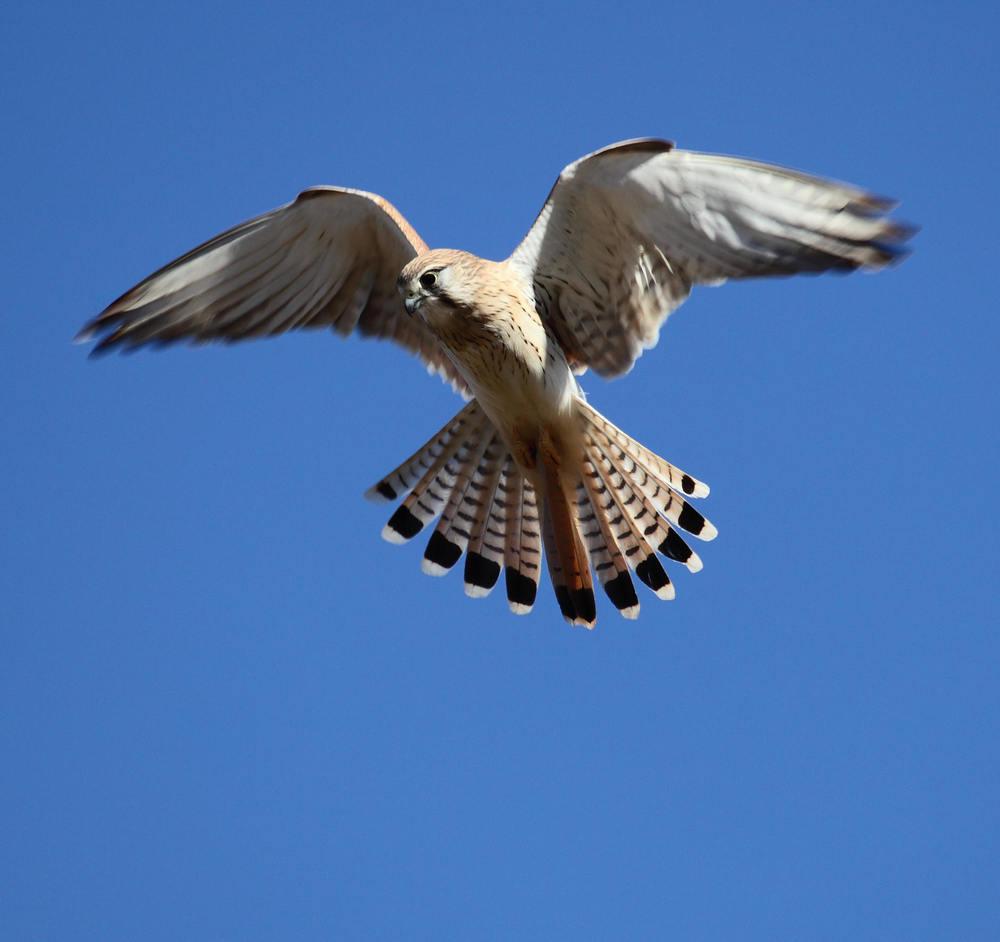 Nankeen Kestrel  Falco cenchroides