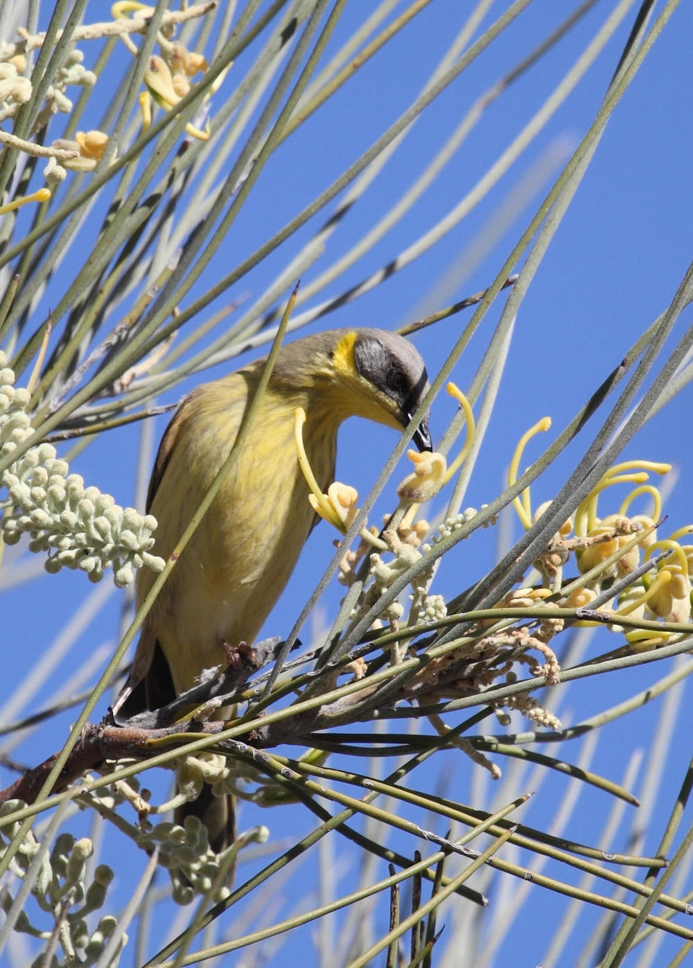 Grey-headed Honeyeater  Lichenostomus keartlandii
