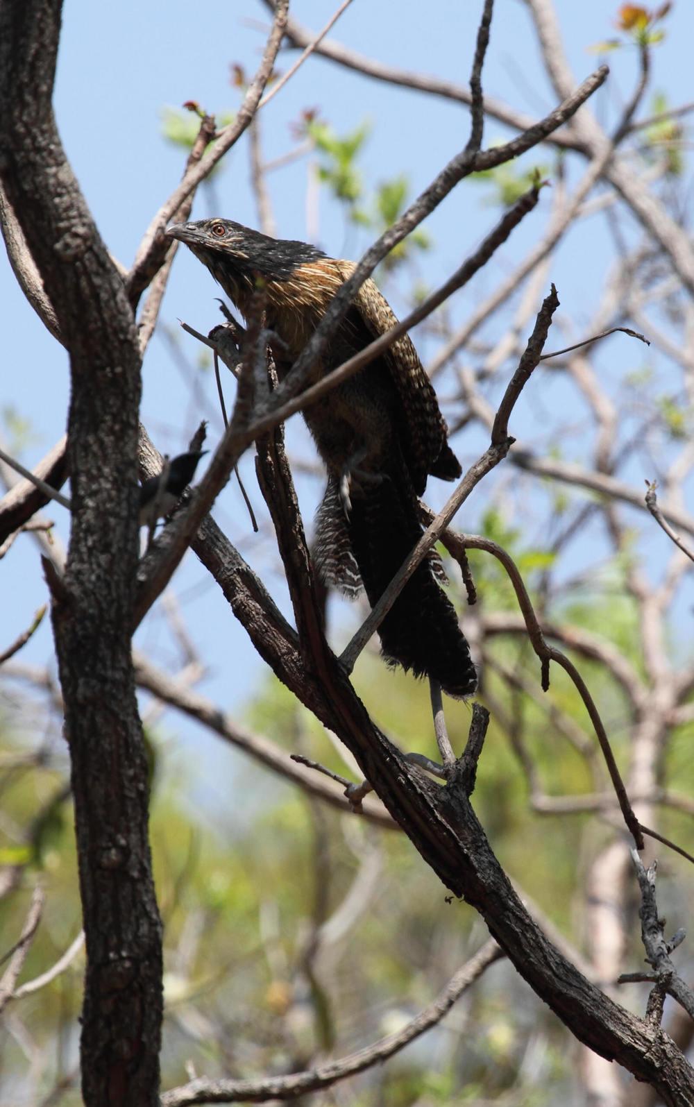 Pheasant Coucal  Centropus phasianinus