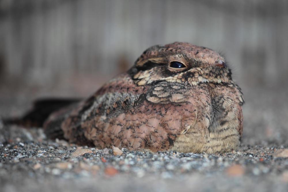 Immature Spotted Nightjar Eurostopodus argus