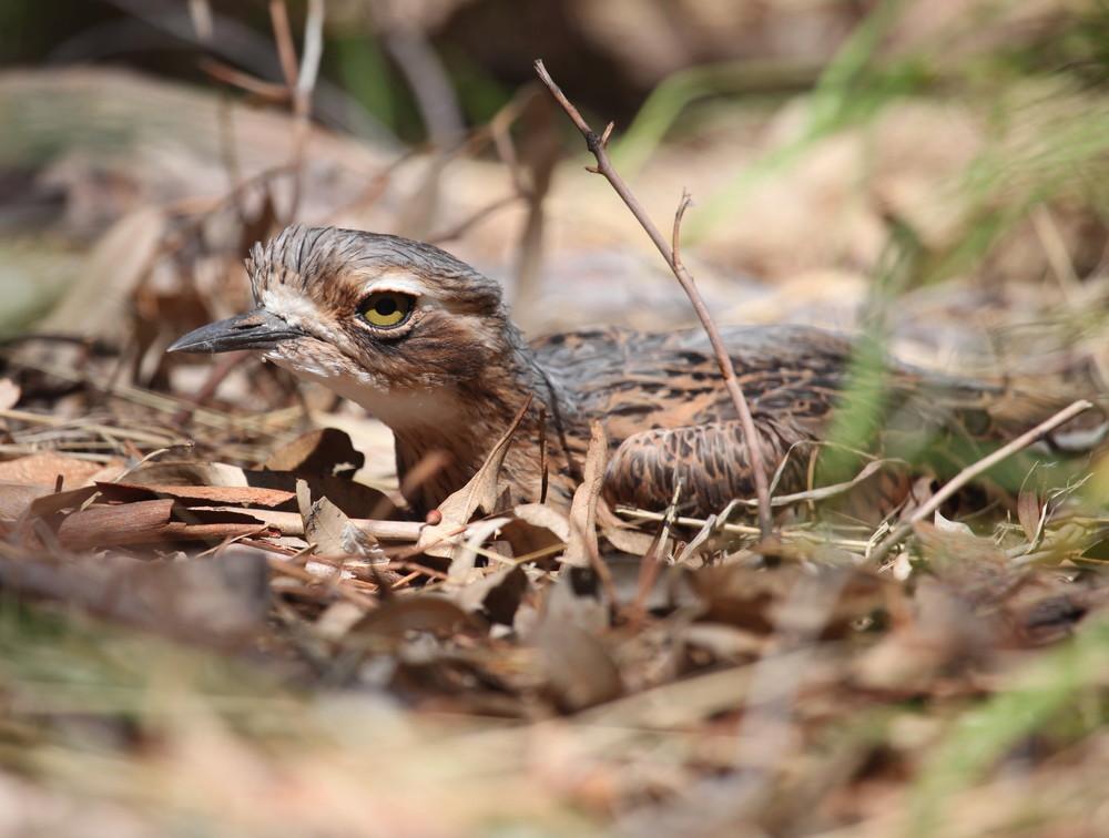 Bush Stone-curlew  Burhinus grallarius