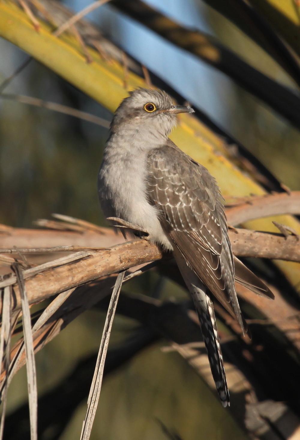 Pallid Cuckoo Cacomantis pallidus