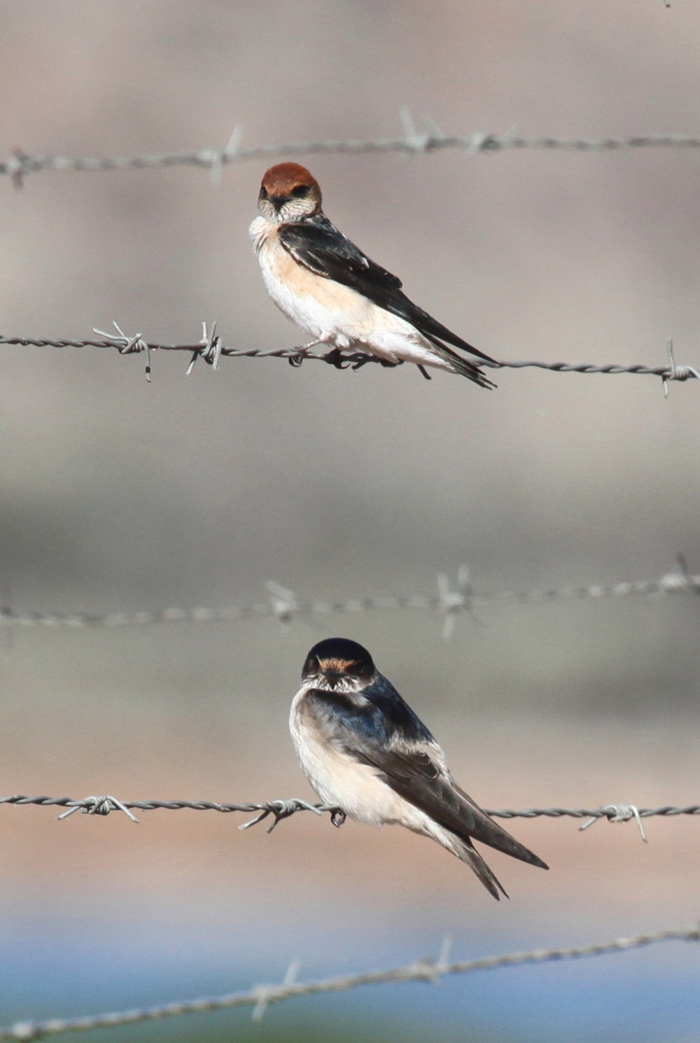 Fairy Martin  Petrochelidon ariel  (top) and Tree Martin  P. nigricans  (bottom)