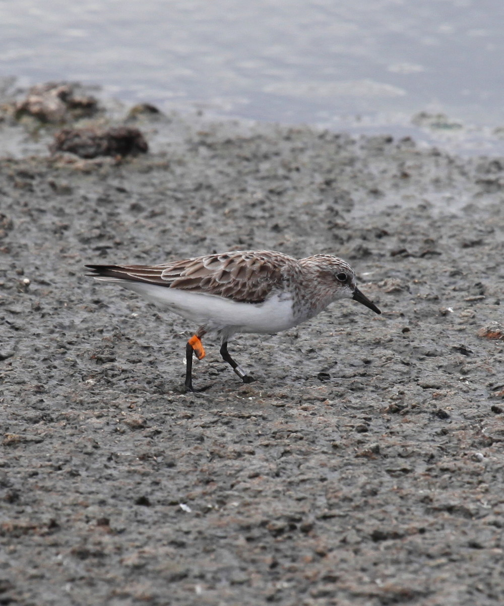 Red-necked Stint  Calidris ruficollis