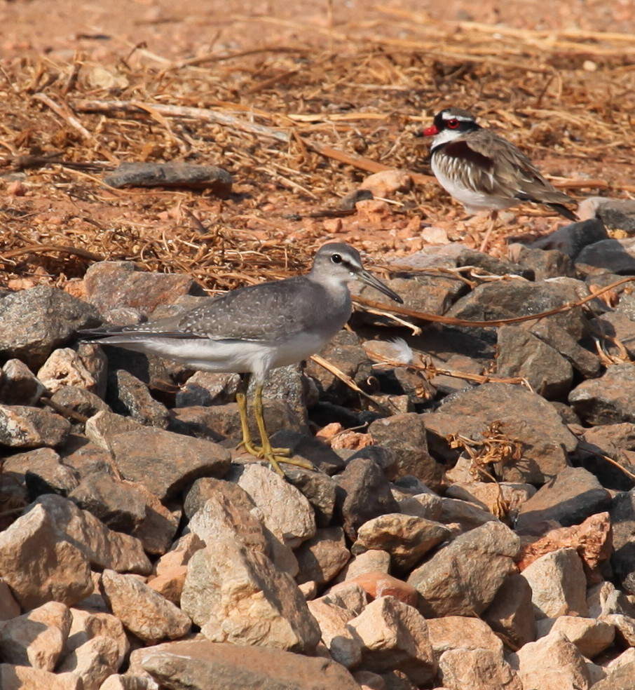 Grey-tailed Tattler Tringa brevipes (front) with a Black-fronted Dotterel Elseyornis melanops