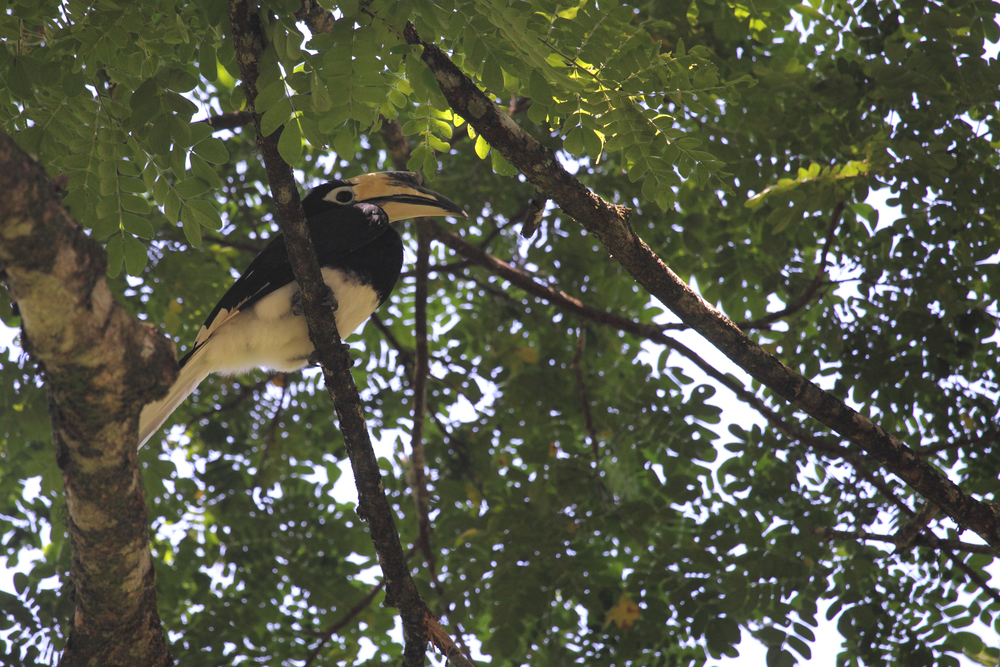 Oriental Pied Hornbill keeping cool below the canopy.