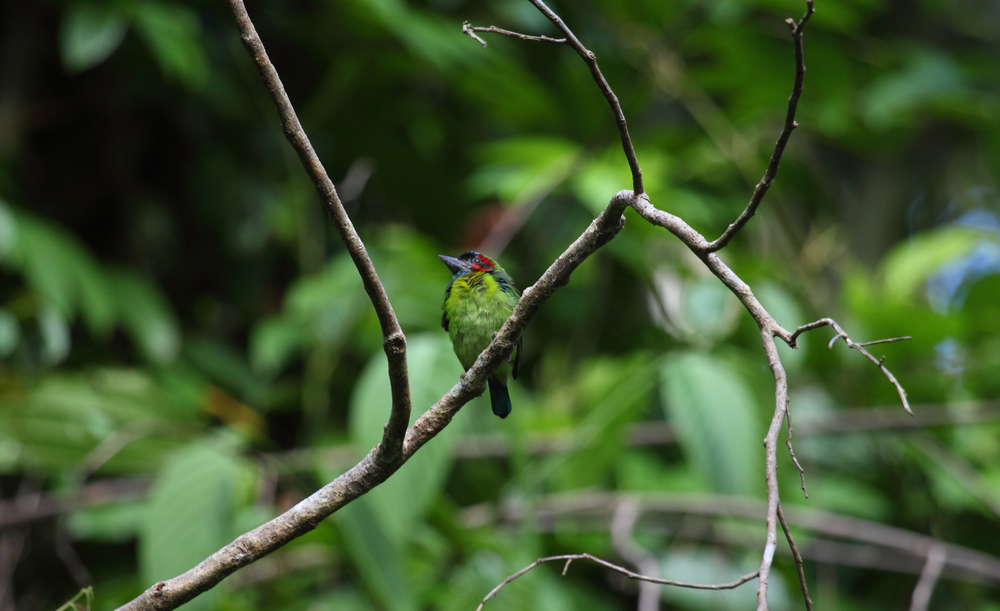 Blue-eared Barbet along the trail to the mud volcano.