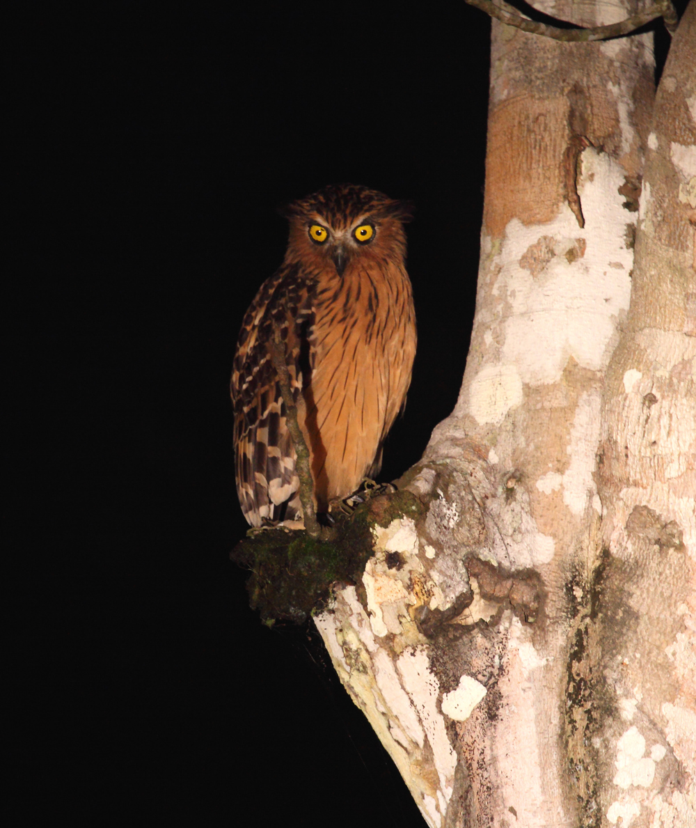Buffy Fish Owl - a captivating animal.