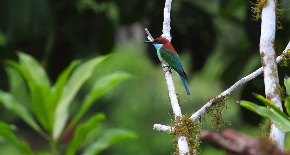 Blue-throated Bee-eater - one of the common residents of the Danum Valley.