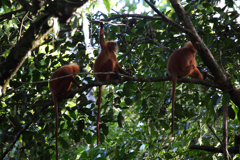 Red Leaf Monkey: the other ginger primate.