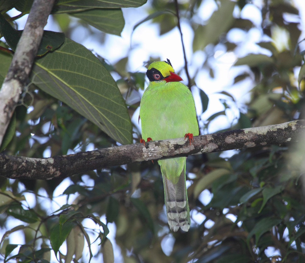 Bornean Green Magpie - fairly frequently encountered on the mountain.