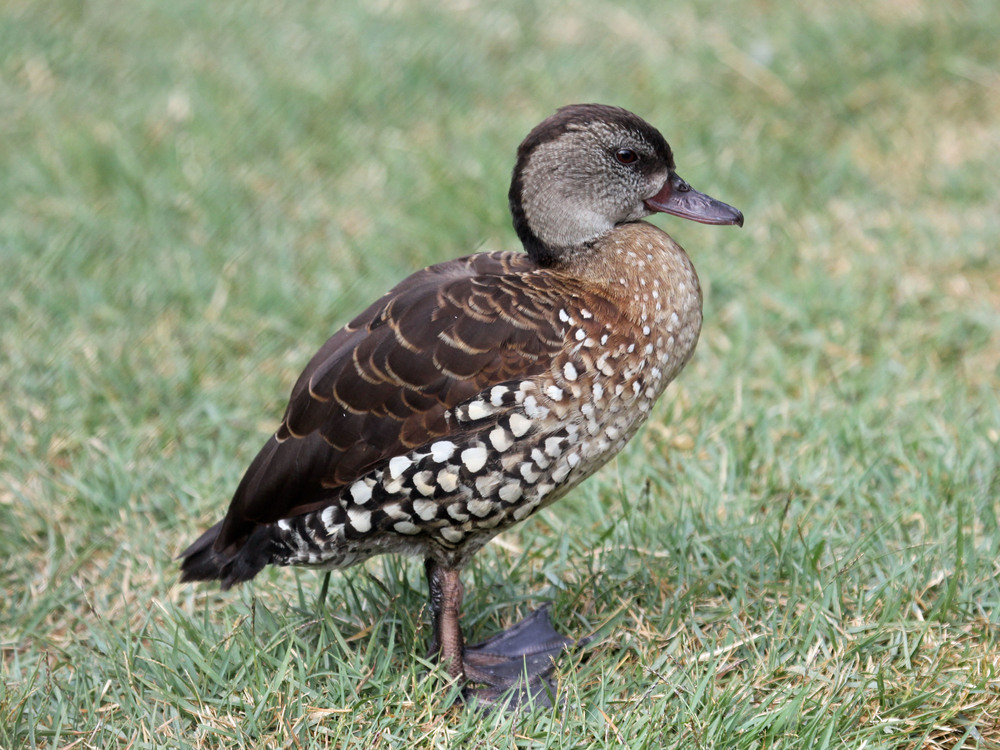 The Spotted Whistling Duck  Dendrocygna guttata . Pic by  Dick Daniels  from Wikicommons.
