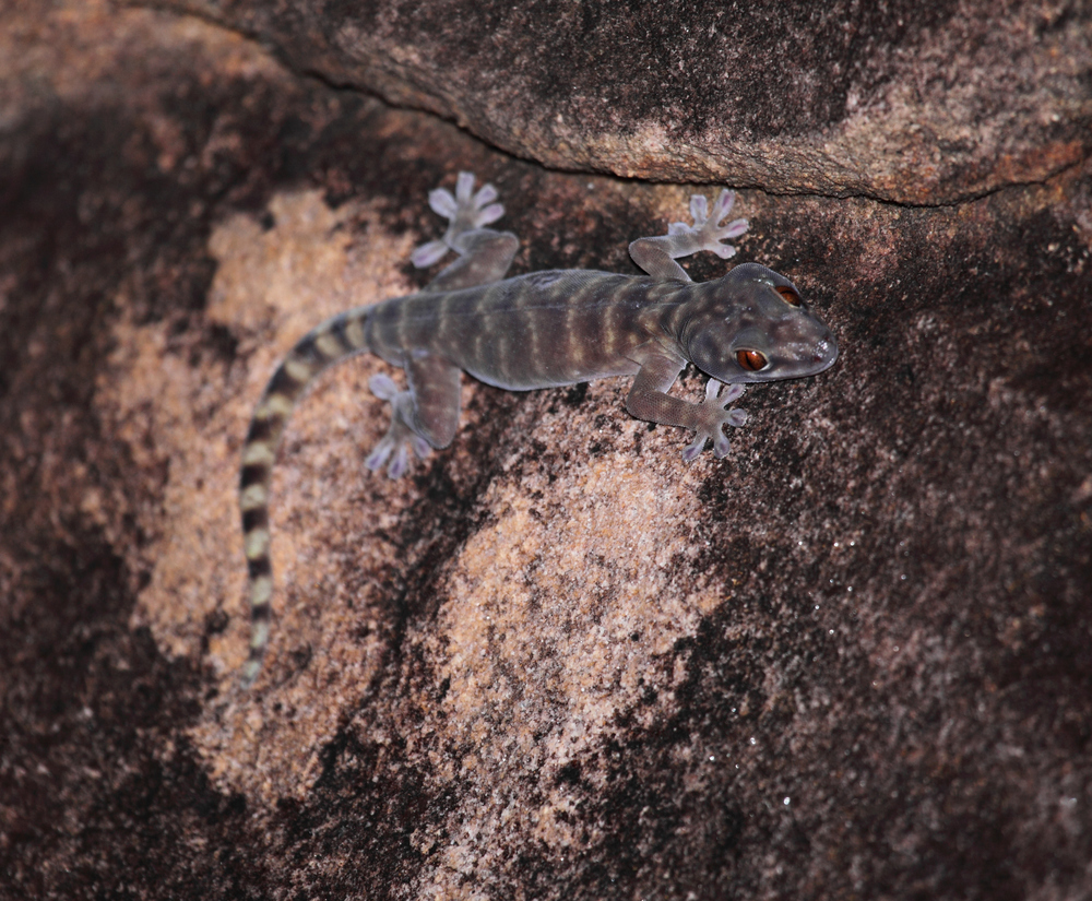 Northern Giant Cave Gecko