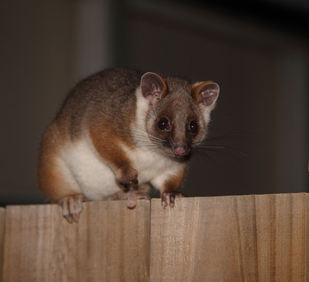 Common Ringtail Possum  Pseudocheirus peregrinus , often the first tick on many suburbanites' mammal list.