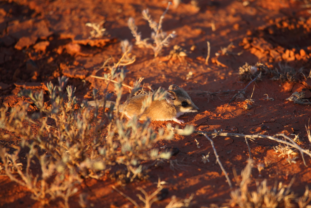 Fat-tailed Dunnart Sminthopsis crassicaudata - a tiny marsupial carnivore. A lot harder to get to than a back yard ringtail possum but, happily, still pretty common if you look in the right places.