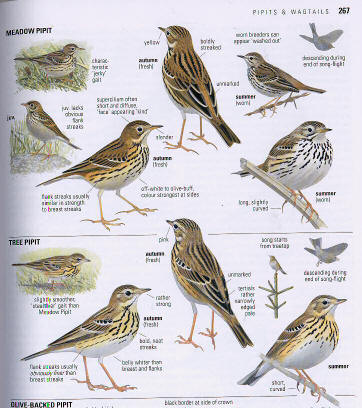 tree_and_meadow_pipits_svensson_bird_guide.jpg