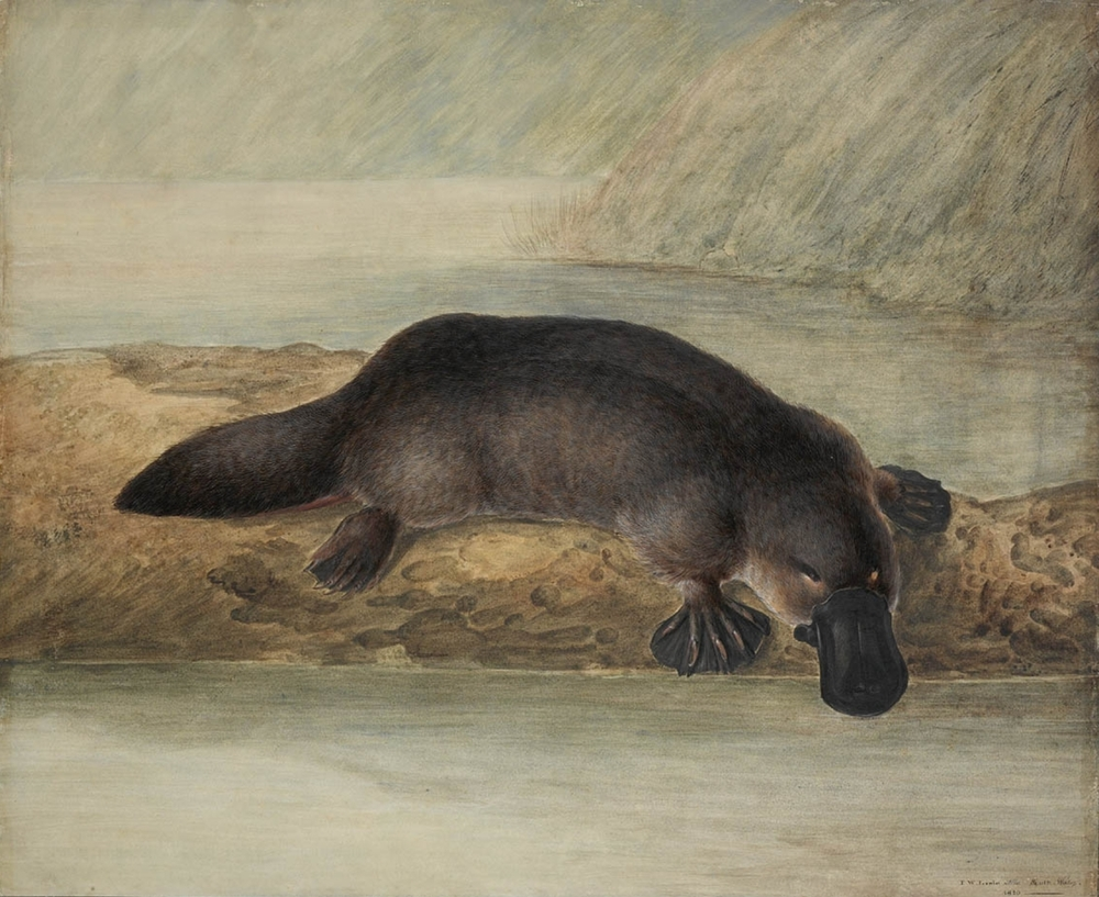 The platypus  Ornithorhynchus anatinus , by John Lewin 1808. CC.