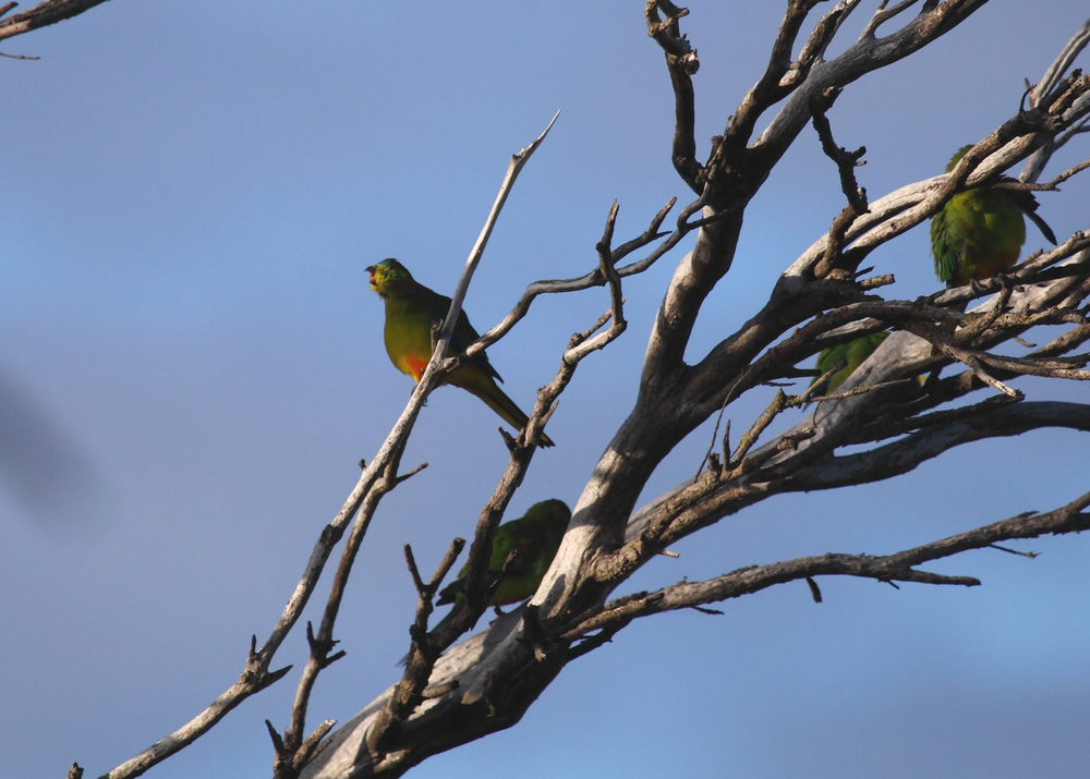 Orange-bellied Parrots at Werribee in 2015. Perhaps as much as 10% of the wild population in a single (crummy) photograph.