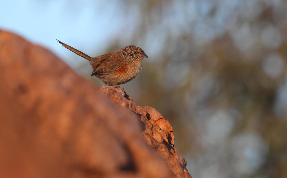 Dusky Grasswren Amytornis purnelli, an adult female in the MacDonnell Ranges.