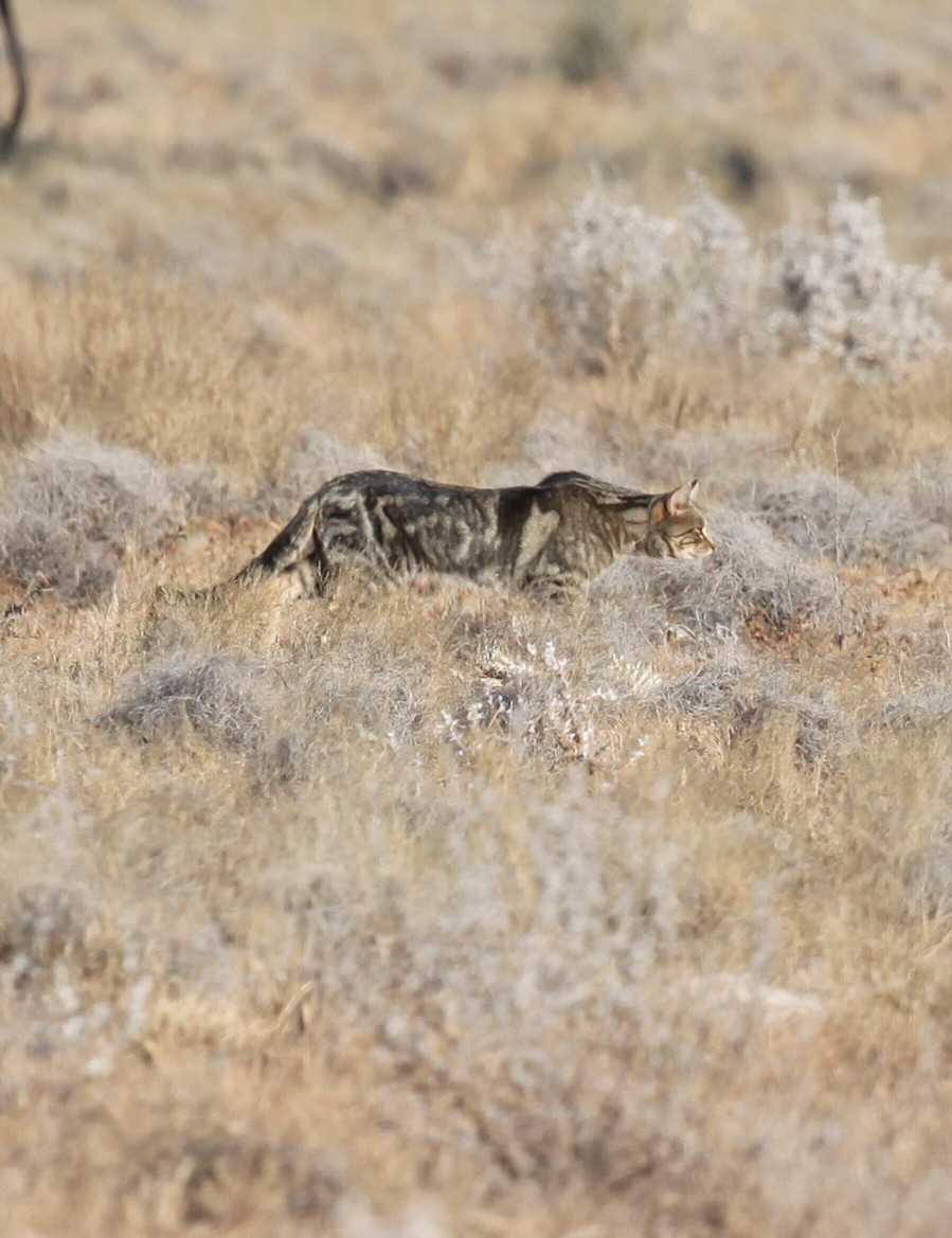A large feral cat stalking prey in the Australian outback.