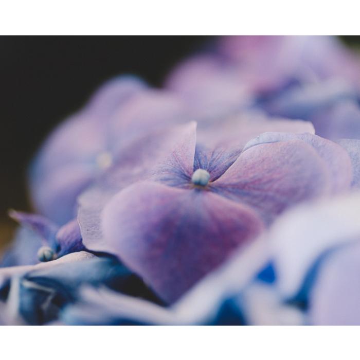 Blue Hydanges