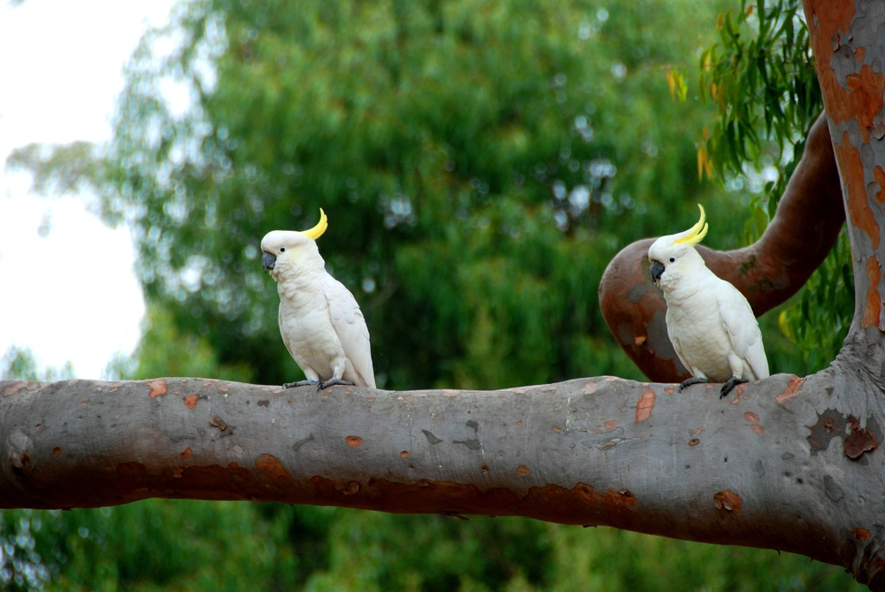 Native Australian Cockatoos