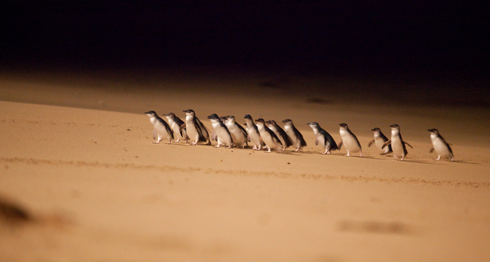 Little penguins on the beach at night