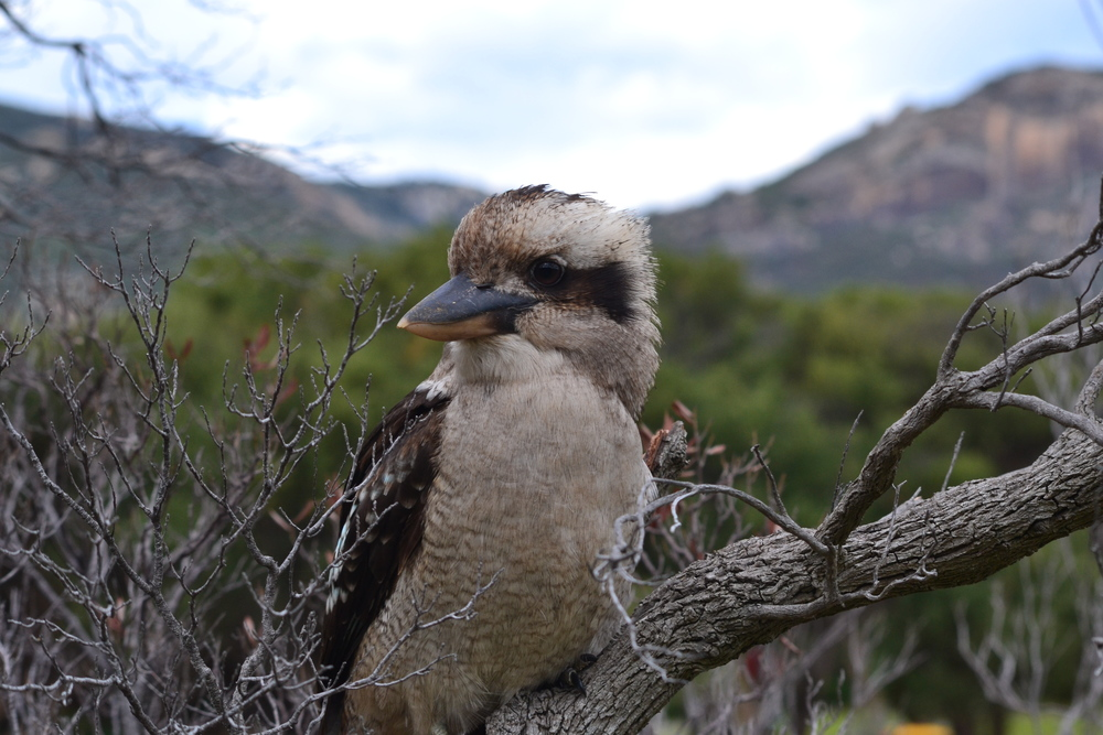 Copy of Kookaburra