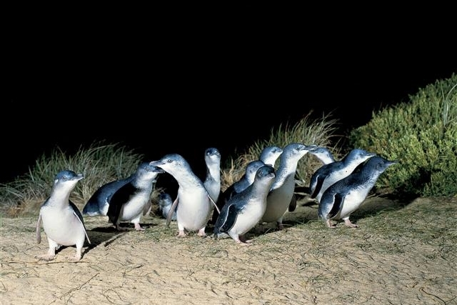 Penguins at Phillip Island (night)