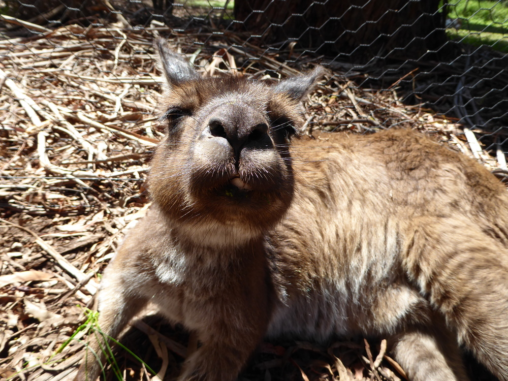 See Kangaroos at Healesville Native Wildlife Sanctuary