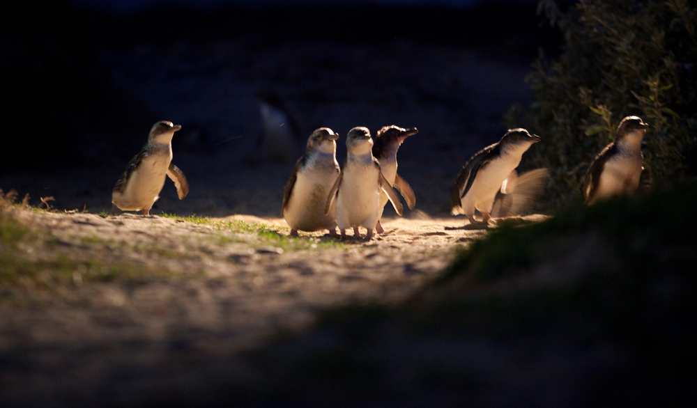 Penguin Parade_11 (medium res).jpg
