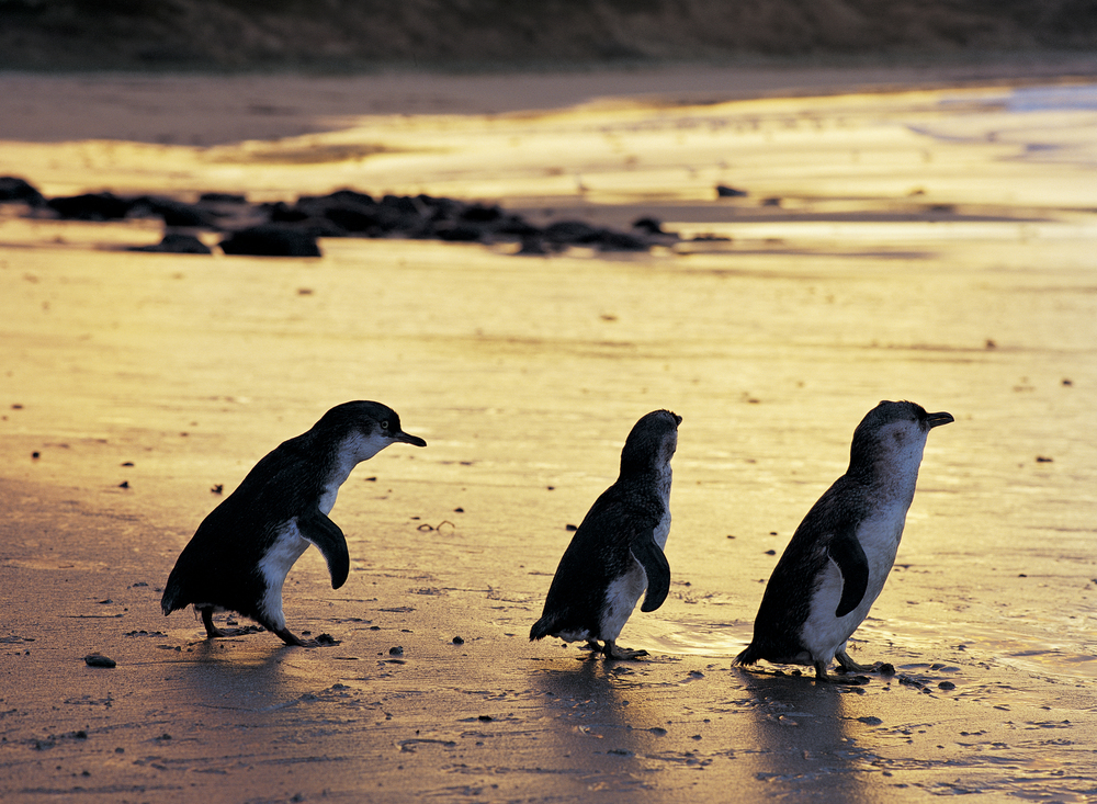 Penguins on the beach at sunset