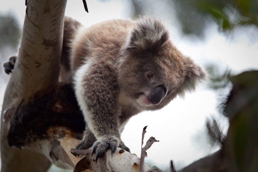 Koala in Gumtree