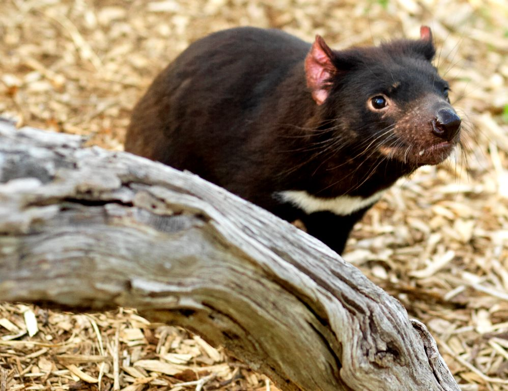 Copy of Tasmanian Devil
