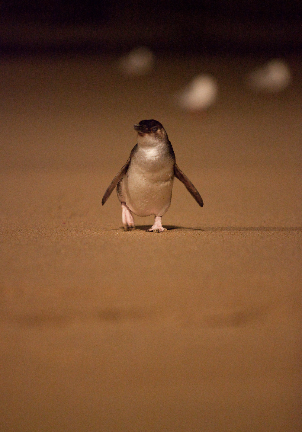 Little Fairy Penguin
