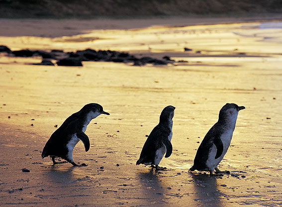 Penguins on Phillip Island in the afternoon