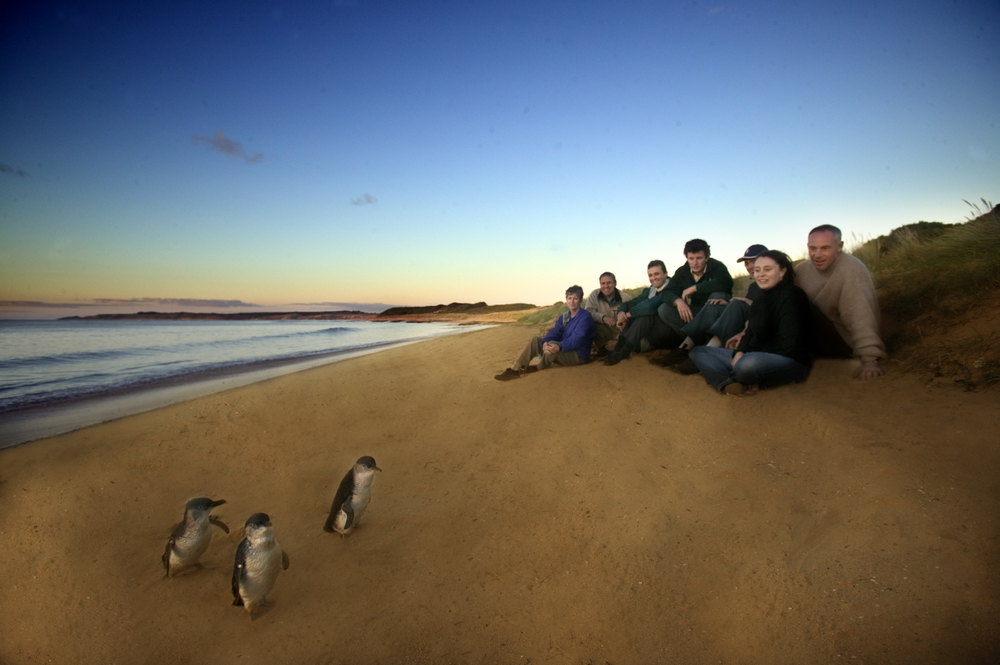 Penguins on Phillip Island beach
