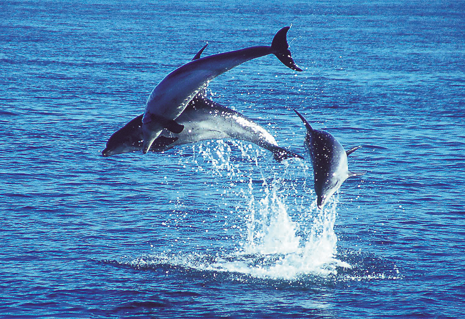 Dolphins off the coast of Mornington Peninsula