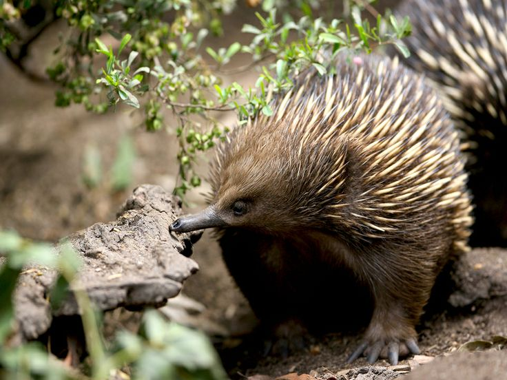 See Echidna at Healesville Native Wildlife Sanctuary