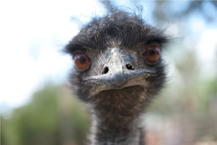 See Emus at Healesville Native Wildlife Sanctuary