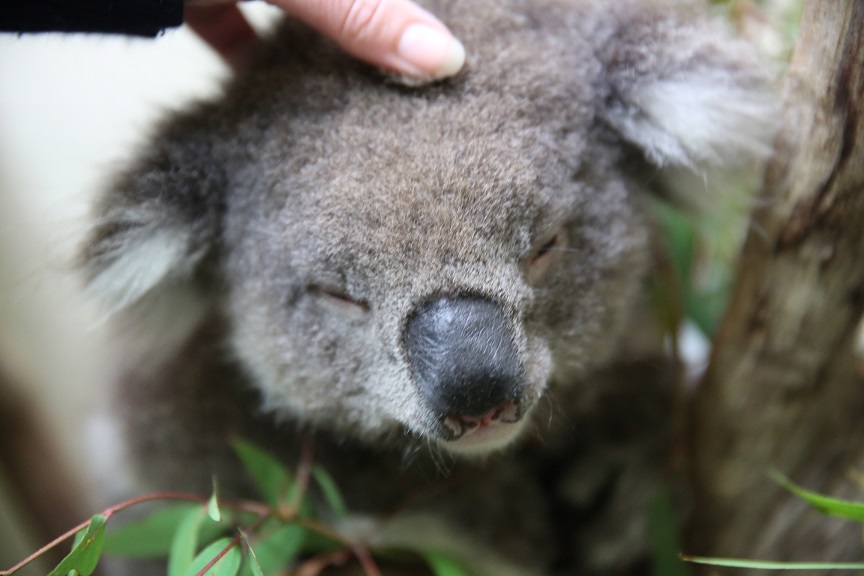 Copy of See Koalas at Healesville Native Wildlife Sanctuary