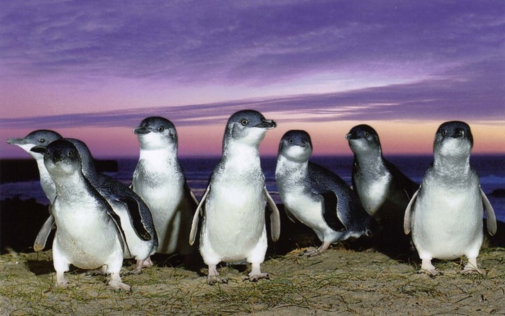 Image courtesy of http://www.nationalgeographic.com.au/animals/make-way-for-australias-penguin-parade.aspx