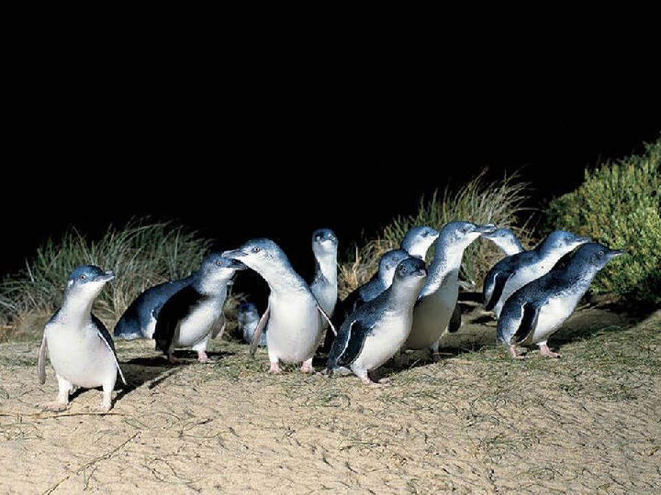 Copy of Phillip Island Penguin Parade