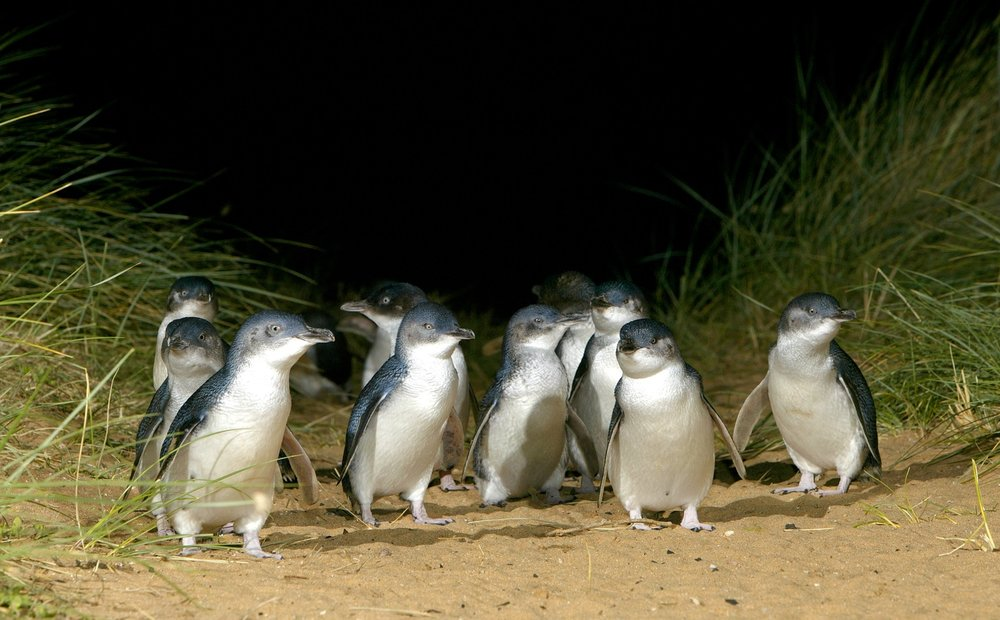 adorable little penguins