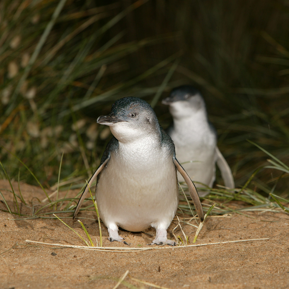 Little Penguins on Phillip island at the Penguin Parade.jpg