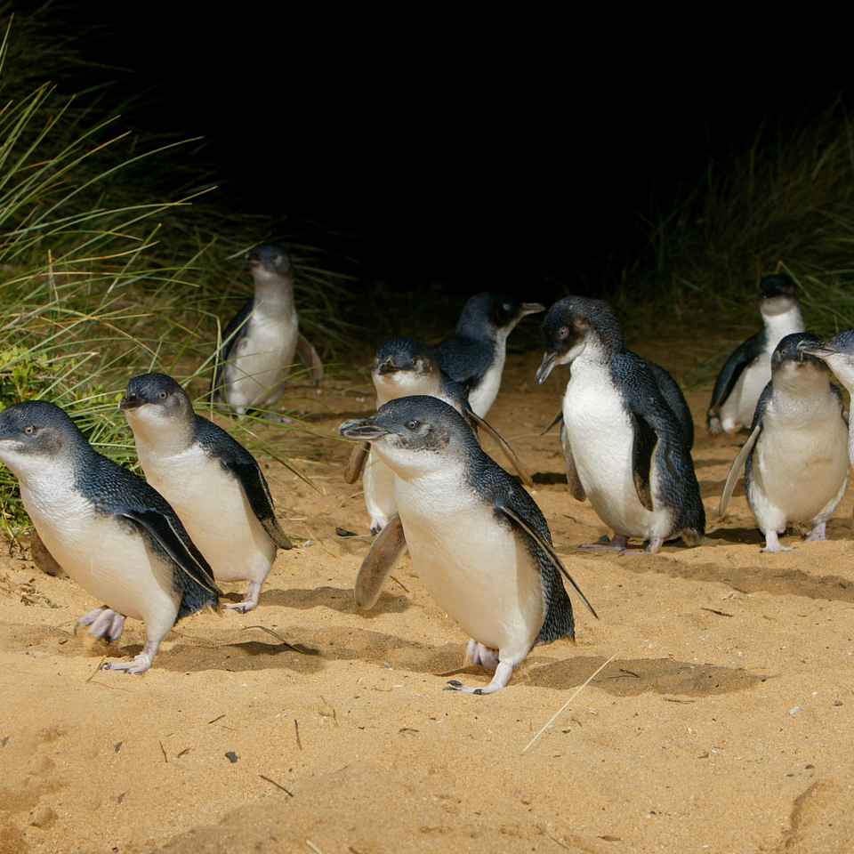 Little penguins marching Phillip island.jpg